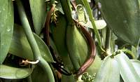 la vanille - wanilia - vaynilla - mały strączek
