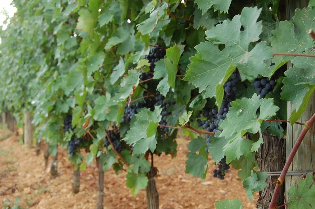 Włoska winnica